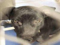 Pit Bull Terrier - A3273298 - Medium - Young - Female -
