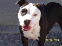 Pit Bull Terrier - A3274772 - Medium - Adult - Female -