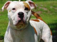 Pit Bull Terrier - A595260 - Medium - Adult - Male -