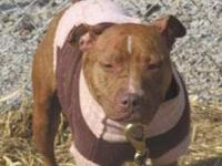 Pit Bull Terrier - Alibi - Medium - Adult - Female -