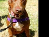 Pit Bull Terrier - Alma - Large - Adult - Female - Dog