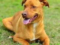 Pit Bull Terrier - Alvin - Medium - Adult - Male - Dog