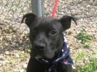 Pit Bull Terrier Pork Pie came to the shelter as a