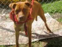Pit Bull Terrier Pretty is an owner surrender who came