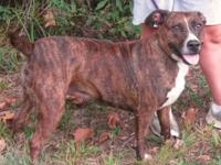 Pit Bull Terrier *** Cache Creek Animal Rescue is