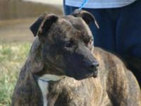 Pit Bull Terrier Dylan came in as a stray. He is a very
