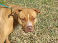 Pit Bull Terrier This girl came in as a stray. She is