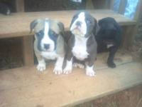 UKC Reg. Amber-lite/York cross. These UCK puppies have