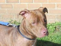 Pit Bull Terrier - Angel - Large - Young - Female -