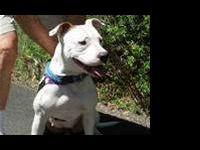 Pit Bull Terrier - *angel* - Medium - Adult - Female -