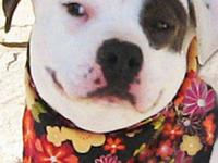 Pit Bull Terrier - Apache - Medium - Adult - Female -