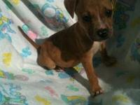 Pit Bull Terrier - Apollo - Medium - Baby - Male - Dog