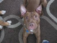 Pit Bull Terrier - Apple - Medium - Young - Female -