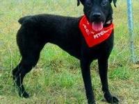 Pit Bull Terrier - Ariel - Medium - Young - Female -