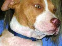 Pit Bull Terrier - Autumn - Medium - Young - Female -