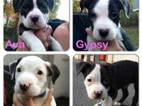 Pit Bull Terrier - **ava & Gypsy** - Large - Baby -