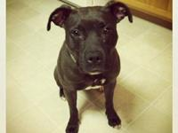 Pit Bull Terrier - Babe - Small - Adult - Female - Dog
