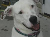 Pit Bull Terrier - Babushka - Large - Adult - Female -