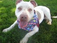 Pit Bull Terrier - Baby - Medium - Baby - Female - Dog
