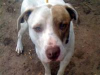 Pit Bull Terrier - Bart - Large - Adult - Male - Dog