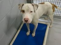 Pit Bull Terrier - Bart - Medium - Young - Male - Dog 1