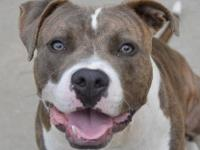 Pit Bull Terrier - Baxter - Medium - Adult - Male -