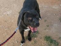 Pit Bull Terrier - Baylee - Large - Adult - Female -