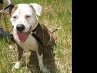 Pit Bull Terrier - *beatrice* - Medium - Young - Female