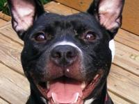 Pit Bull Terrier - Bella - Adopted - Small - Young -