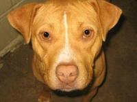 Pit Bull Terrier - Bella - Large - Adult - Female -