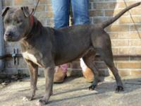 Pit Bull Terrier - Bella - Large - Young - Female -