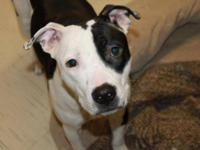 Pit Bull Terrier - Bella - Medium - Adult - Female -