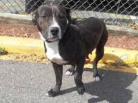 Pit Bull Terrier - Bella - Medium - Adult - Female -