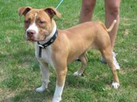 Pit Bull Terrier - Bella Mia - Medium - Young - Female