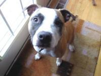 Pit Bull Terrier - Belle - Courtesy Post - Medium -