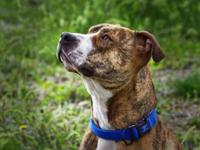 Pit Bull Terrier - Benny - Large - Young - Male - Dog