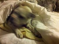 Pit Bull Terrier - Big Mama - Medium - Senior - Female