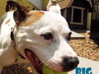 Pit Bull Terrier - Big Phish - Medium - Adult - Female