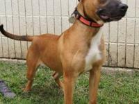 Pit Bull Terrier - Blackjack - Medium - Adult - Male -