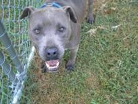 Pit Bull Terrier - Blue - Medium - Adult - Male - Dog