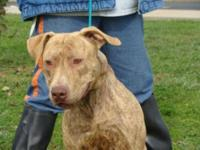 Pit Bull Terrier - Blue - Medium - Young - Male - Dog