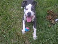 Pit Bull Terrier - Blueberry - Large - Young - Female -