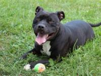 Pit Bull Terrier - Boo Boo - Large - Adult - Female -