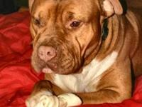 Pit Bull Terrier - Boomer - Large - Adult - Male - Dog