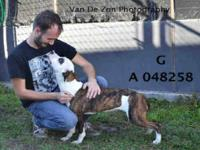 Pit Bull Terrier - Boots - Small - Young - Female -