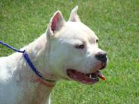 Pit Bull Terrier - Bosley - Large - Adult - Male - Dog