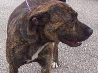 Pit Bull Terrier - Bounty - Medium - Adult - Male -