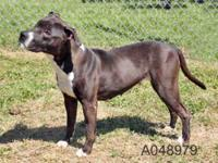 Pit Bull Terrier - Brandy - Medium - Young - Female -