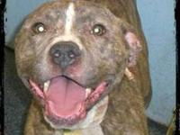 Pit Bull Terrier - Brianna-$125 - Medium - Young -