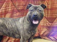 Pit Bull Terrier - Brighton - Medium - Adult - Female -